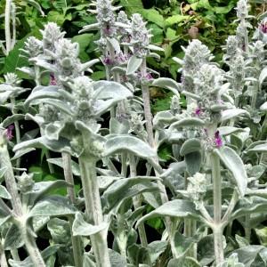 silver stems
