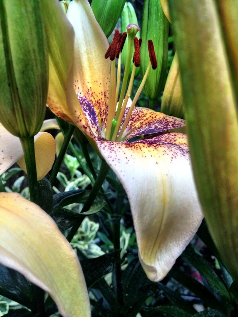 stargazer lily 1