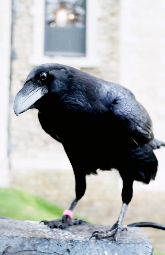 a beady eyed raven