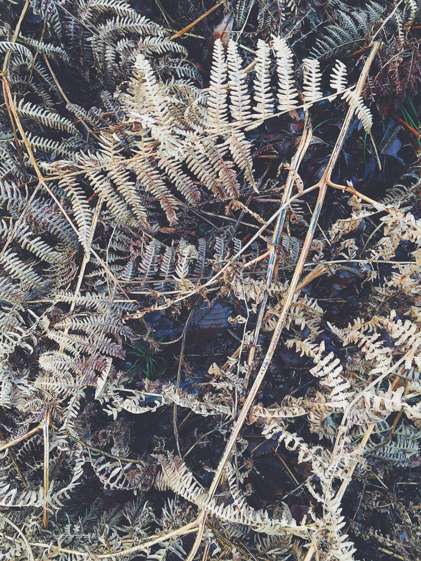 sandringham old fern